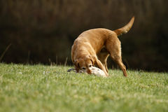 Golden Labrador Picking up. Royalty Free Stock Image