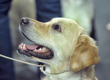 Golden Labrador Portrait Stock Photo
