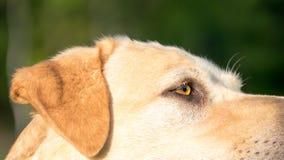 Golden labrador profile stock photos