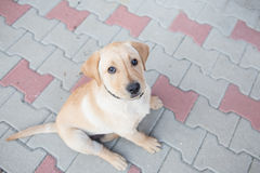 Golden Labrador Puppy. Image showing a three month old golden labrador puppy Royalty Free Stock Photos