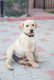 Golden Labrador Puppy Stock Image