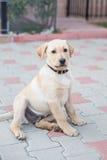 Golden Labrador Puppy. Image showing a three month old golden labrador puppy Stock Image