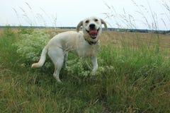 Golden labrador puppy Stock Images