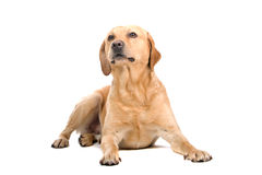 Golden Labrador Retriever Royalty Free Stock Photo