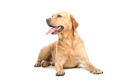 Golden Labrador Retriever Stock Image