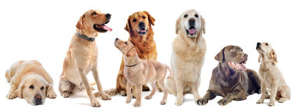 Golden and labrador retriever Royalty Free Stock Photos