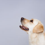 Golden labrador retriever Royalty Free Stock Images