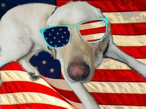 Golden Labrador Retriever With American Flag Sunglasses. Patriotic Labrador Retriever Dog celebrating the holidays with American Flag sunglasses on a United Stock Photo