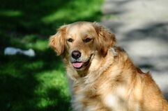Golden labrador retriever dog Stock Images