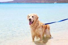 Golden labrador retriever inside the turquoise Ionian sea of Greece Stock Photos