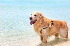 Golden Labrador retriever inside the turquoise sea Royalty Free Stock Photography