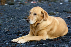 Golden labrador retriever laying on gravel bar in Seward Stock Photos