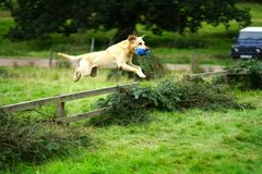 Free Golden Labrador Retriever Leaping Over Fence Royalty Free Stock Photo - 124538575
