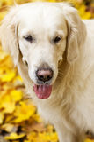 Golden labrador retriever with protruding tongue is in autumn pa Stock Photos