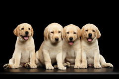 Golden Labrador Retriever puppies isolated on black background. Four funny Golden Labrador Retriever puppies sitting isolated on black background, front view Royalty Free Stock Image