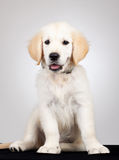 Golden labrador retriever puppy Royalty Free Stock Photos