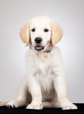 Golden labrador retriever puppy Royalty Free Stock Photos