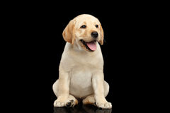 Golden Labrador Retriever puppy isolated on black background Stock Image