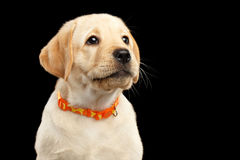 Golden Labrador Retriever puppy isolated on black background Stock Photography