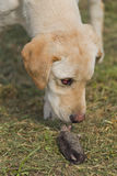 Golden Labrador Retriever Puppy Sniffing Dead Mole Royalty Free Stock Image
