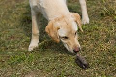 Golden Labrador Retriever Puppy Sniffing Dead Mole Royalty Free Stock Photos