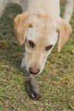 Golden Labrador Retriever Puppy Sniffing Dead Mole Royalty Free Stock Photo