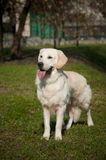 Golden labrador-retriever Royalty Free Stock Image