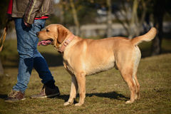 Golden Labrador Retriever on a Walk. A golden Labrador Retriever dog, taken on a walk by his relaxed master, on a sunny day royalty free stock image