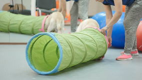 Golden labrador runs through a tunnel on the training. The cynologist trains the golden labrador in the gym. Trainer show to the dog where the animal must go stock footage