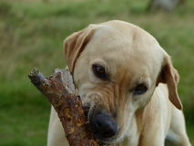 Golden labrador sniffing the stick Royalty Free Stock Images