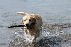 Golden Labrador with Stick Stock Photos