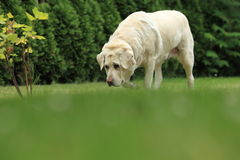 Golden labrador Royalty Free Stock Photo