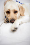 Golden labrador taking a rest Royalty Free Stock Photo