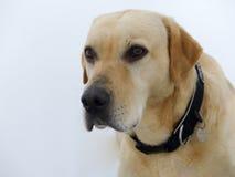 Golden labrador portrait Stock Images
