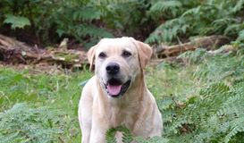 Golden Labrador. In the woods Royalty Free Stock Images