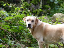 Golden Labrador Stock Images