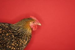 Golden Laced Wyandotte chicken Stock Photos