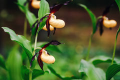 Golden Lady Slipper Orchid Royalty Free Stock Images