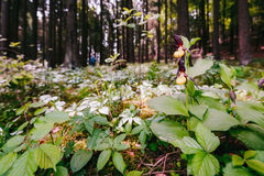 Golden Lady Slipper Orchid Stock Photos