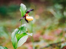 Golden Lady Slipper Orchid Royalty Free Stock Photo