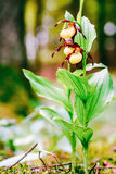 Golden Lady Slipper Orchid Royalty Free Stock Image