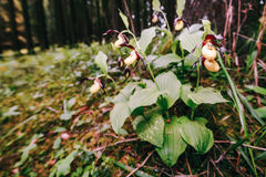 Golden Lady Slipper Orchid Stock Photography