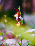 Golden Lady Slipper Orchid Stock Images