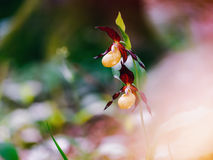 Golden Lady Slipper Orchid Royalty Free Stock Photography