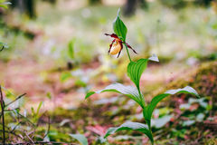 Golden Lady Slipper Orchid Stock Image