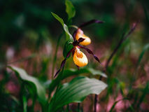 Golden Lady Slipper Orchid Royalty Free Stock Photos