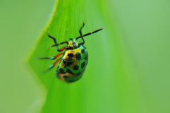 Golden ladybird on a leaf Stock Images