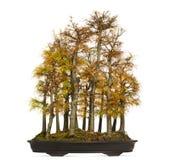 Golden Larch Bonsai Tree, Pseudolarix Amabilis, Isolated Royalty Free Stock Image