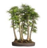 Golden larch, bonsai tree, pseudolarix amabilis, isolated Royalty Free Stock Images