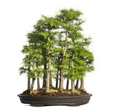 Golden larch, bonsai tree, pseudolarix amabilis, isolated Stock Photo
